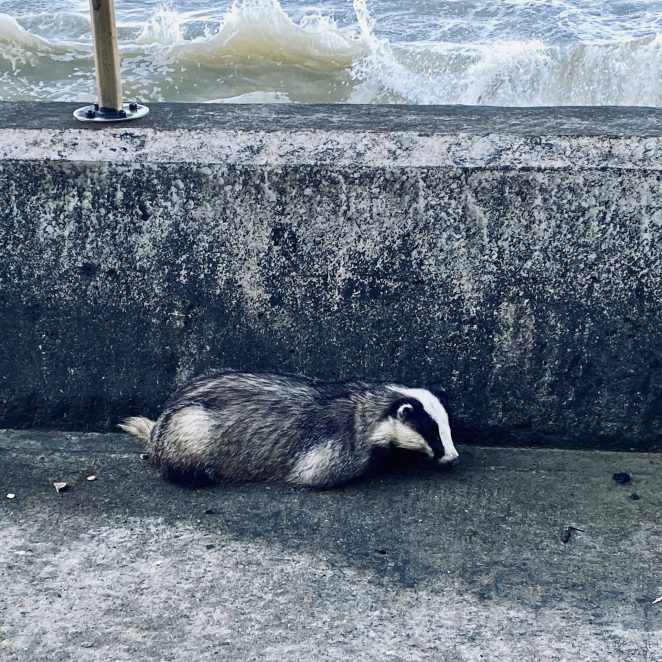 Badger on undercliff walk, Rottingdean | Chris Barbara ARPS. All Rights Reserved.