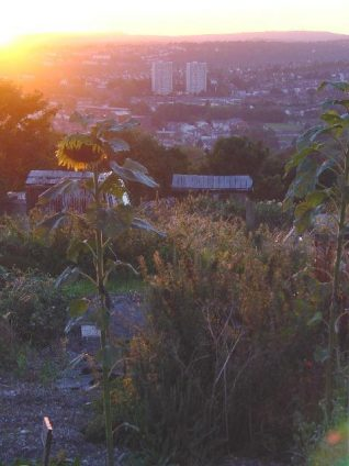Sunflower at sunset, with tower blocks at Hollingdean behind | Photo by Simon Tobitt