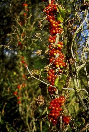 Black Bryony in berry at Brighton & Hove Golf Course   Photo submitted by www.citywildlife.org.uk