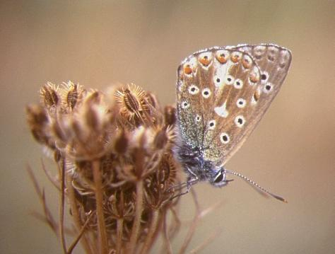 Common Blue butterfly at Whitehawk Hill Local Nature Reserve   Photo submitted by www.citywildlife.org.uk
