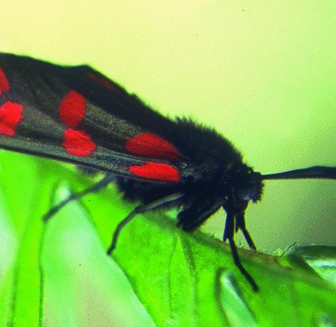 Burnet Moth at 'Cowley Drive Paddocks' Site of Nature Conservation Importance   Photo submitted by www.citywildlife.org.uk