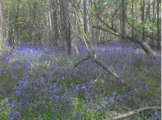 Bluebells in Stanmer woods   Photo by Joan Cumbers