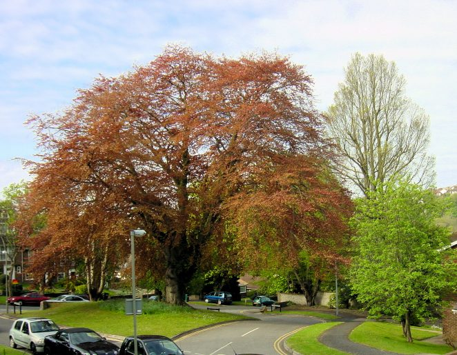 The beeches in all their glory   Photo by Brian Dungate