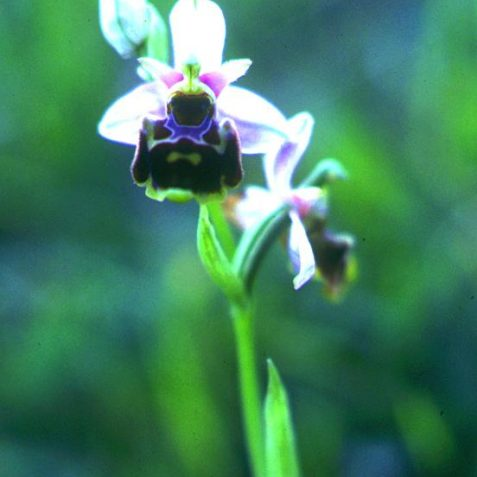 Early Spider Orchid (Ophrys sphegodes) on the <a href=