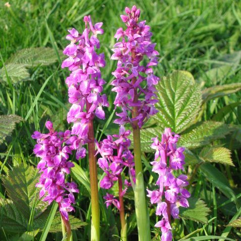 Early Purple Orchids on the hillfort | Peter Whitcomb