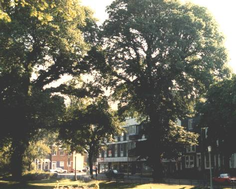 City elm trees in July 1987 | Photo by Ian Latimer