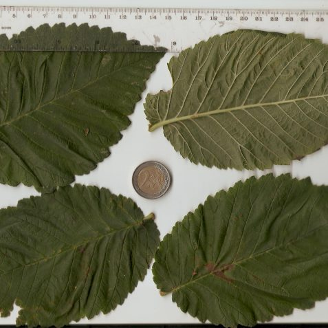 Fig. 1 The huge leaves of Ulmus 'Pitteurs' | Photo by Peter Bourne