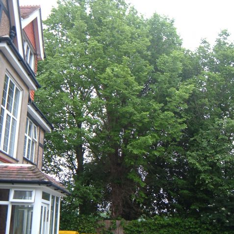 The ultimately rare Kidbrooke's elm | Photo by Peter Bourne