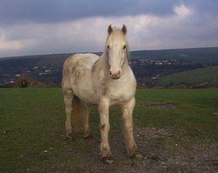 'Ghost', a horse near Jacob's Ladder, Bevendean | Photo taken by Sam Carroll