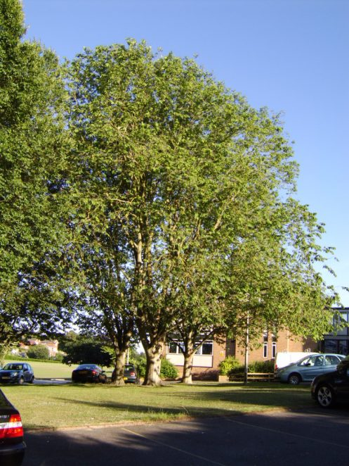 the largest Bhutan elm (Ulmus wallichiana) in the British Isles; Longhill School, Rottingdean. | Photo by Peter Bourne