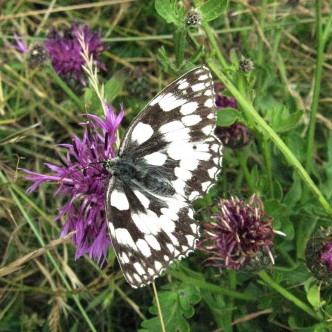 Marbled White | Peter Whitcomb