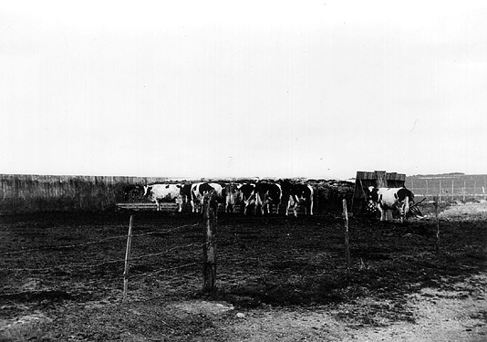 Dairy Cattle at Patcham Court Farm c.1960. | From the private collection of Martin Nimmo
