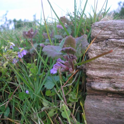 Red Dead Nettle, old railway sleeper | Photo by Peter Groves