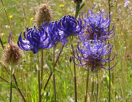 Round Headed Rampion (Pride of Sussex) | From the private collection of Peter Groves