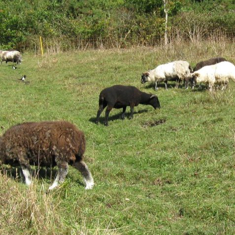 Sheep grazing in 2008 | Peter Whitcomb