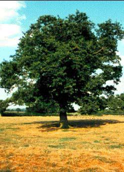 Oak tree | All photos by Ron Martin