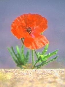 Urban poppy   Photo submitted by www.citywildlife.org.uk