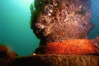 Bullhead fish under the West Pier   Photograph by Sean Clark