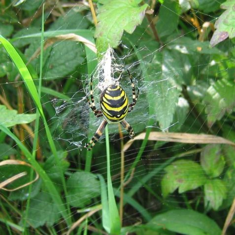 Wasp Spider | Peter Whitcomb